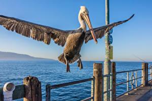 Fonds d'écran Oiseaux Pélicans Bec Aile