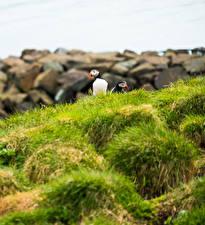 Wallpaper Bird Puffin Grass Animals