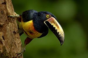 Photo Bird Toucans Beak Collared Aracari