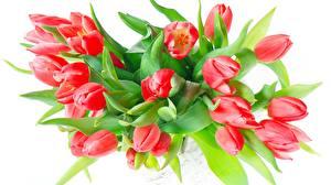 Hintergrundbilder Blumensträuße Tulpen Weißer hintergrund Rot Blüte