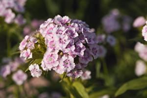 Image Carnations Closeup Bokeh Dianthus barbatus Flowers