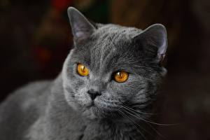Fonds d'écran Les chats British shorthair Museau Regard fixé Grise un animal