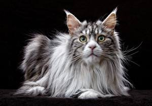 Picture Cat Maine Coon Staring Black background animal