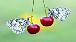 Bilder Kirsche Schmetterlinge Zwei Pieridae ein Tier