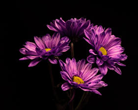 Pictures Mums Closeup Black background Violet flower