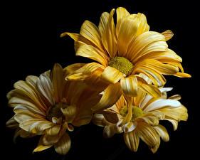 Bilder Chrysanthemen Nahaufnahme Schwarzer Hintergrund Gelb Blumen