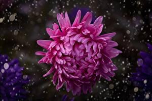 Bilder Chrysanthemen Hautnah Unscharfer Hintergrund Rosa Farbe Blüte
