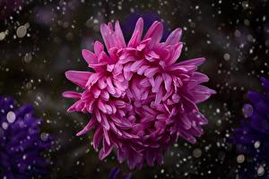 Images Mums Closeup Blurred background Pink color flower