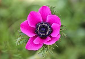 Bilder Großansicht Anemonen Bokeh Rosa Farbe Blumen