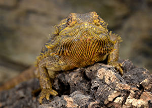 Pictures Closeup Lizard Blurred background Bearded Dragon, Pogona animal