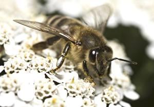 Hintergrundbilder Hautnah Bienen ein Tier