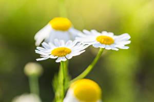 Tapety na pulpit Zbliżenie Rumianek Rozmazane tło kwiat