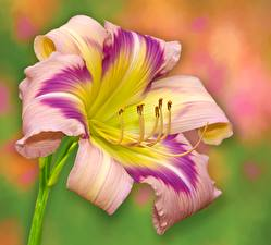 Photo Closeup Lilium Daylily flower