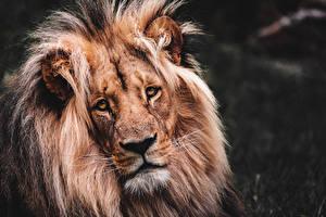 Fotos Hautnah Löwen Kopf Starren ein Tier