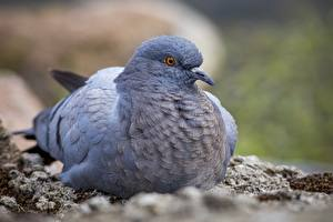 Images Closeup Pigeons Birds Blurred background animal