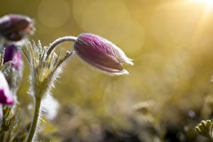 Picture Closeup Pulsatilla Bokeh Flower-bud Flowers
