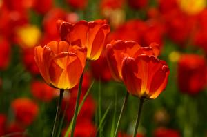 Photo Closeup Tulip Blurred background Red Flowers