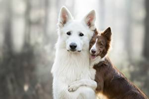 Hintergrundbilder Hund 2 Border Collie Shepherd Berger Blanc Suisse ein Tier