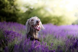 Photo Dog Lavender Tongue Head Weimaraner animal
