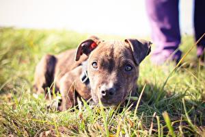 Bilder Hund Gras Starren Welpen Liegen Pitbull ein Tier