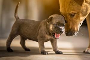 Bilder Hund Welpen Niedlich Zunge ein Tier