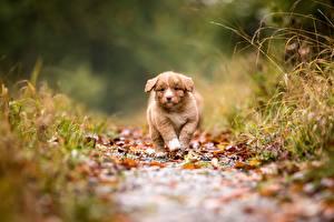 Bilder Hund Welpen Weg Unscharfer Hintergrund Nova Scotia Duck Tolling Retriever