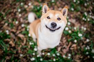 Tapety na pulpit Pies domowy Uśmiech Rozmazane tło Śmieszny Słodki Shiba Inu zwierzę