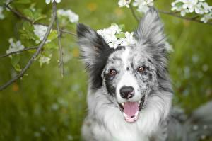 Bilder Hund Schnauze Starren Zunge Border Collie Kopf ein Tier