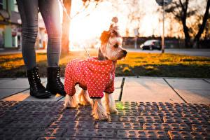 Bilder Hund Yorkshire Terrier