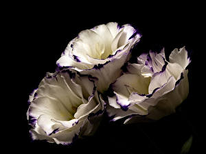 Image Lisianthus Closeup Black background Three 3 White flower