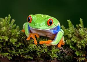 Fotos Augen Frosche Grün ein Tier