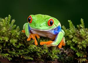 Pictures Eyes Frog Green animal