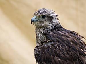 Images Falcon Birds Beak Gyrfalcon Animals