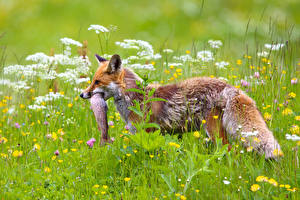 Wallpaper Foxes Fish Grass Hunting animal