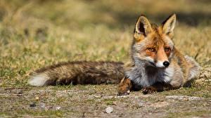 Image Foxes Laying Staring animal