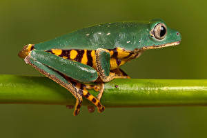 Pictures Frogs Branches Tiger-leg Monkey Frog, Callimedusa tomopterna Animals