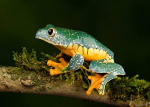 Pictures Frog Branches fringed leaf frog