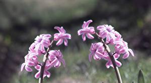 Обои Гиацинты Вблизи Розовая цветок