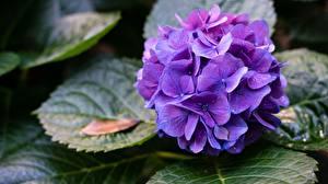 Bilder Hortensien Violett Blüte