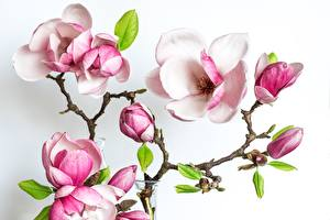 Pictures Magnolia White background Branches flower
