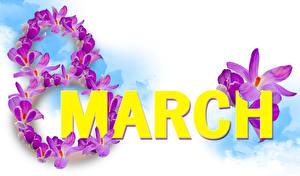 Hintergrundbilder Internationaler Frauentag Krokusse Weißer hintergrund Englischer Text Violett Blüte