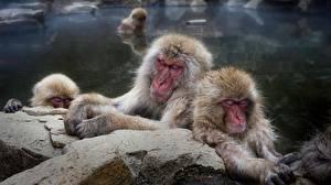 Wallpaper Monkeys Water Japanese macaque Animals