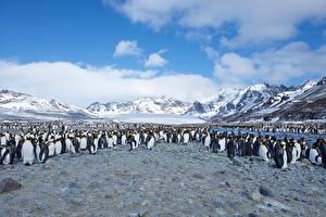 Photo Penguins Many  Animals