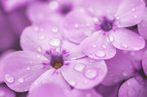 Картинка Флоксы Вблизи Макро Фиолетовые Капель Цветы