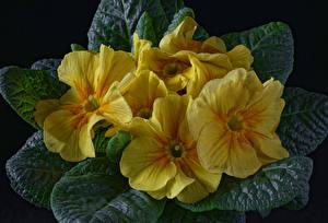 Desktop hintergrundbilder Schlüsselblumen Hautnah Schwarzer Hintergrund Gelb Blüte