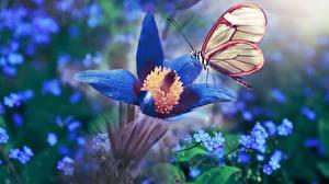 Hintergrundbilder Kuhschellen Schmetterling Blau Blüte Tiere