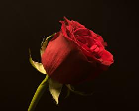 Fotos Rosen Großansicht Schwarzer Hintergrund Rot Blumen