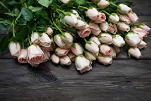 Fotos Rose Rosa Farbe Blüte