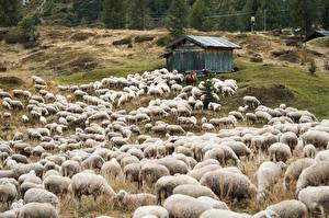 Photo Sheep Many Meadow Herd