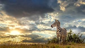 Pictures Sky Zebra Storm cloud Grass animal Nature